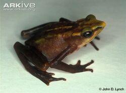 Lynchs-stubfoot-toad.jpg