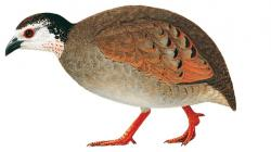 Grey-breasted Partridge