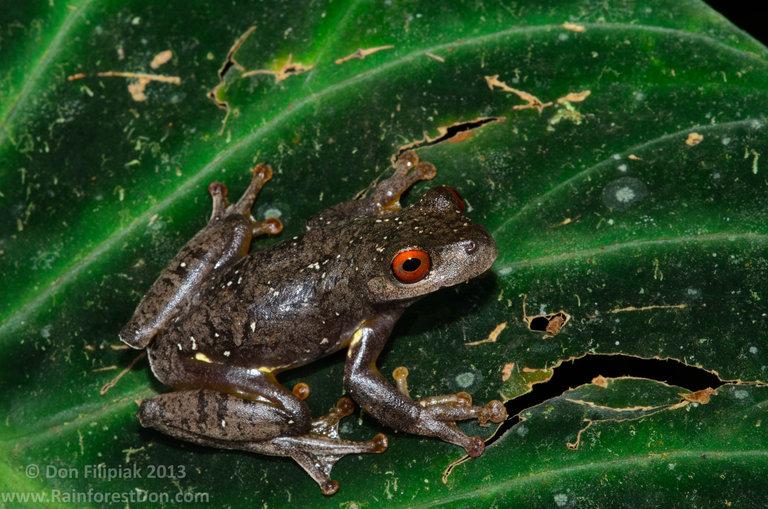 Legler's Stream Frog