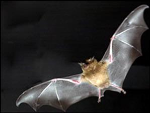 Greater Monkey-faced Bat