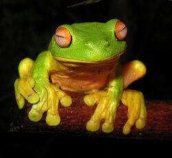 Red-eyed Tree Frog.jpg