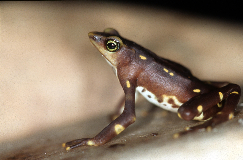 Pirri Range Harlequin Frog