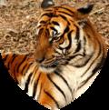 Shield mammalia.png