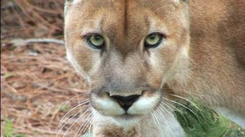 Mountain_Lion_Species_Spotlight