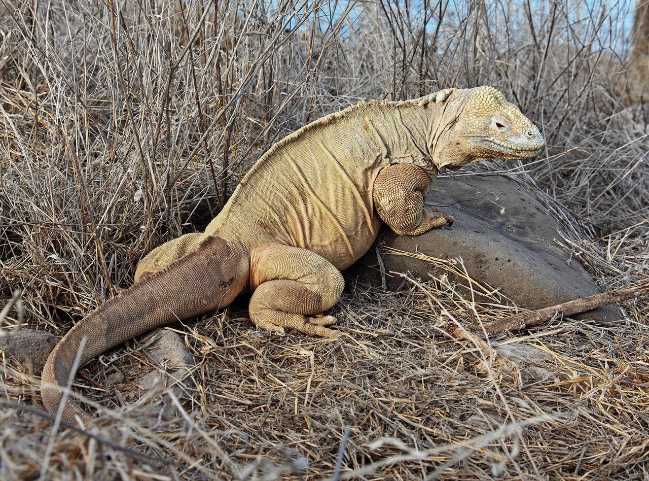 Barrington Land Iguana