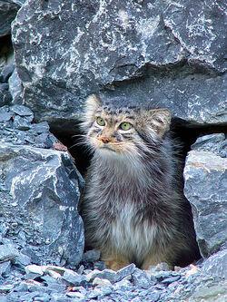 Pallas's Cat.jpg
