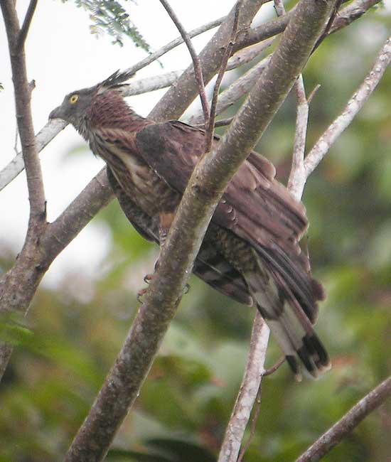 Barred Honey Buzzard
