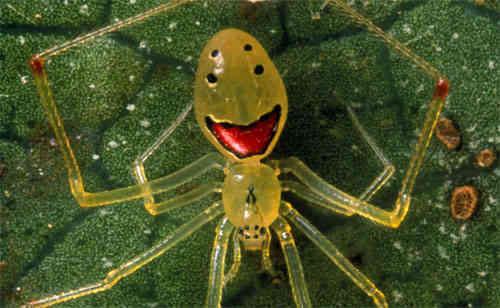 Happy-faced Spider