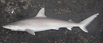 Blacknose Shark