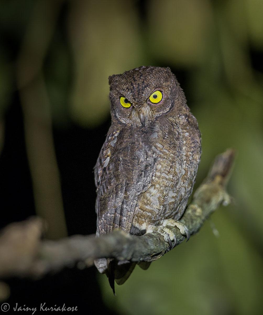 Nicobar Scops Owl