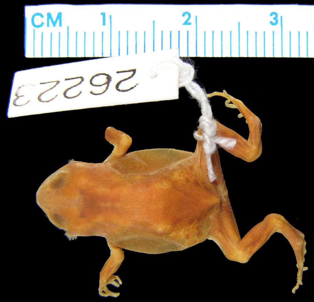 Aphantophryne pansa