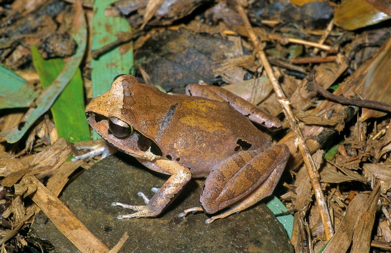Aglyptodactylus securifer