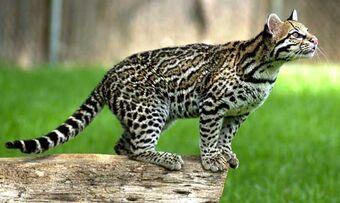 Felidae Animal Database Fandom