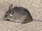 Tiny Fat Mouse