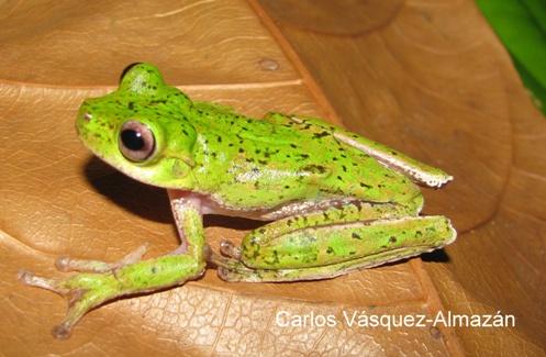 Chinamococh Stream Frog