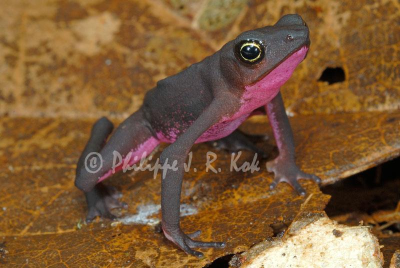 Central Coast Stubfoot Toad
