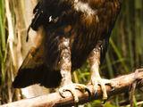 Black-and-chestnut Eagle