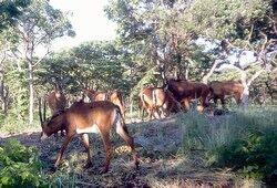 Giant Sable antelope.JPG