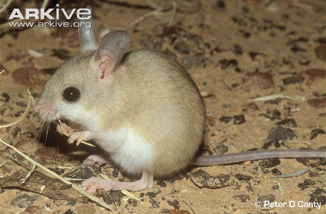 Fawn Hopping Mouse