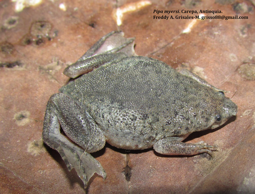 Myers' Surinam Toad