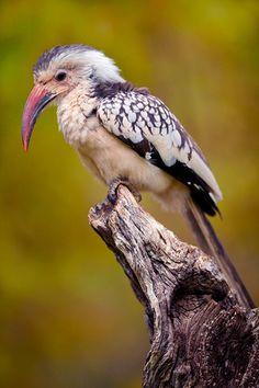 Damara Red-billed Hornbill