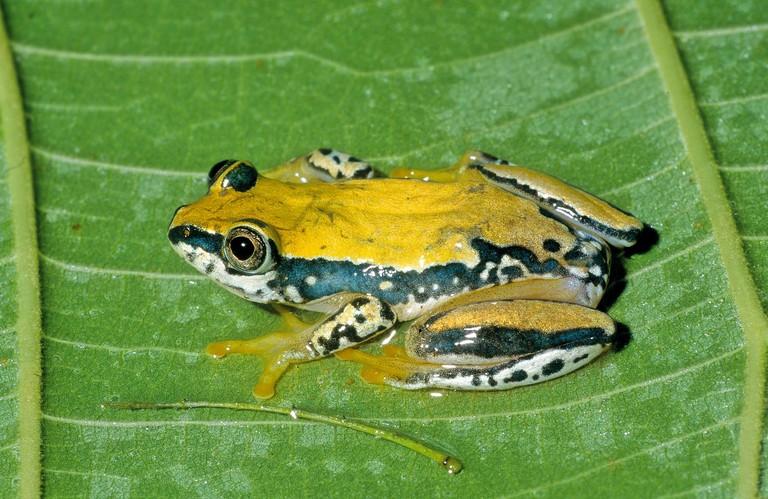 Heterixalus tricolor