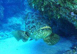 Atlantic Grouper.JPG