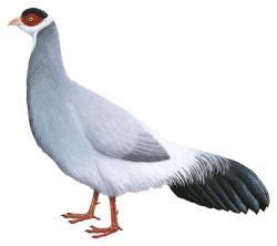 Tibetan Eared Pheasant