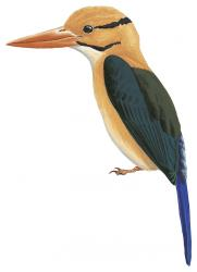 Guadalcanal Moustached Kingfisher