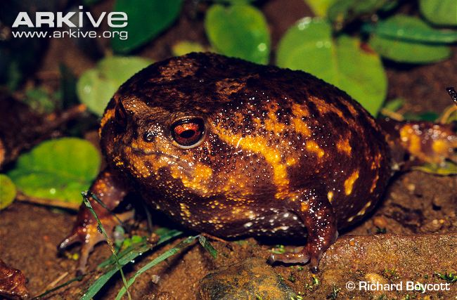 Forest Rain Frog