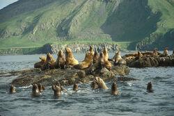 Steller Sea Lion.jpg