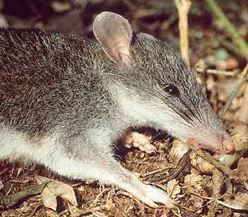 Isarog Shrew Rat