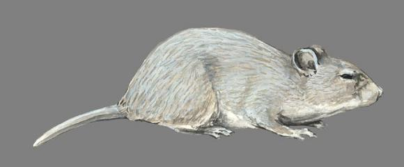 Ashy Chinchilla Rat