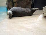 Seals (Long Island Aquarium)