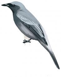 Black-bibbed Cicadabird