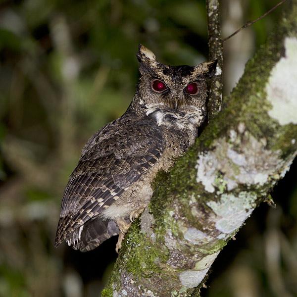 Everett's Scops Owl