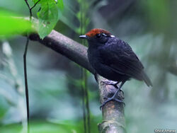 Chestnut-crowned-Gnateater-male-wildsumaco 9664.jpg