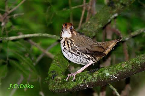 Barred Antthrush