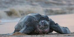 Leatherback turtle.jpg