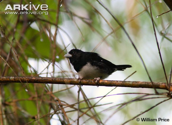 Cone-billed Tanager