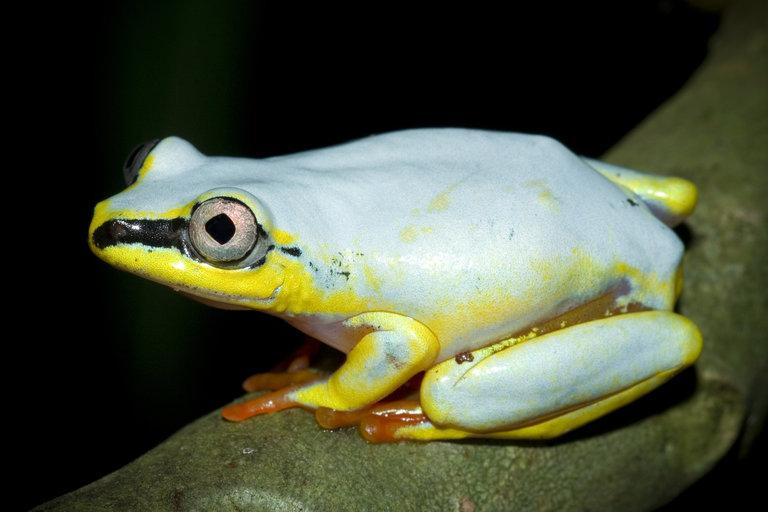 Heterixalus madagascariensis