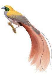 Goldie's Bird-of-paradise