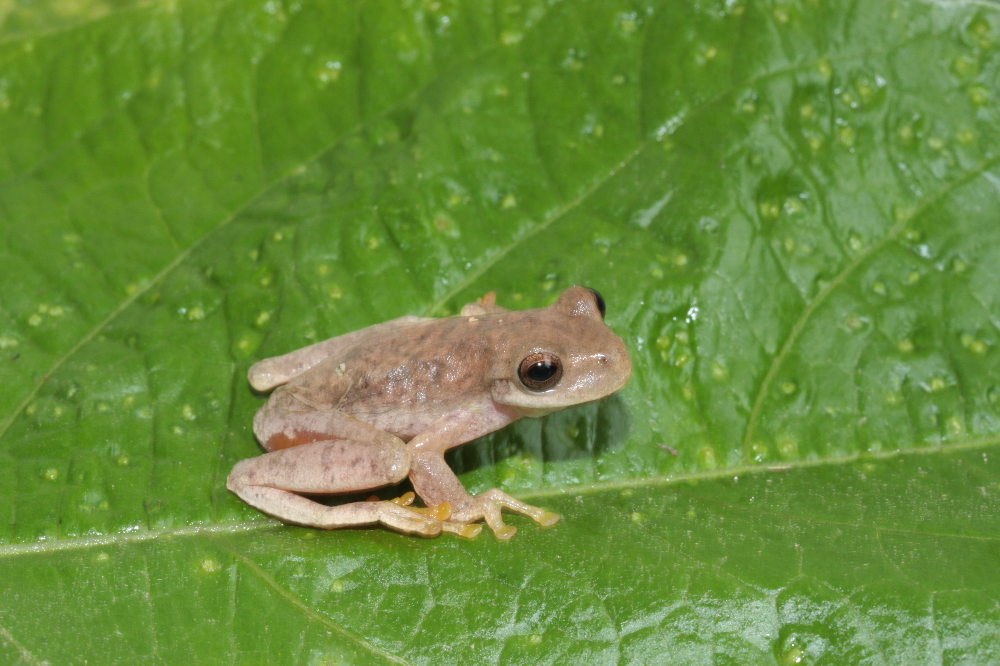Cloud Forest Stream Frog