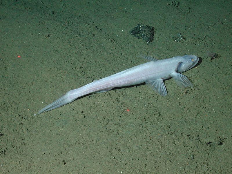 Highfin Lizardfish