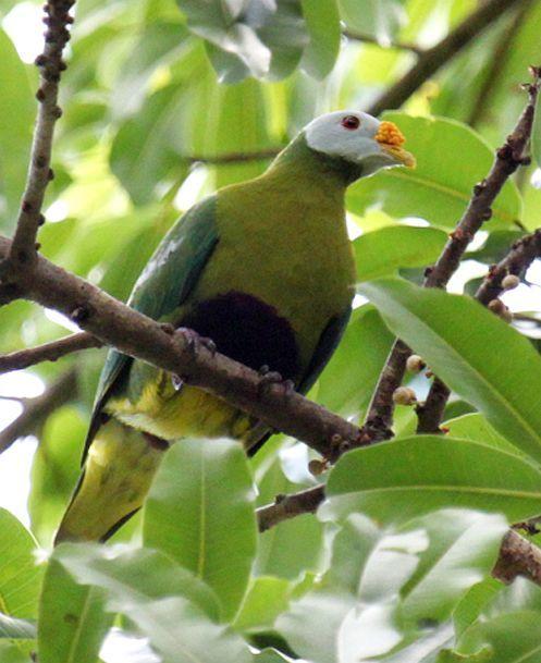 Carunculated Fruit Dove