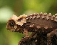 Fito Leaf Chameleon-1