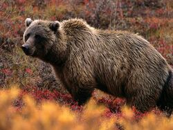 Grizzly-bear 566 600x450.jpeg