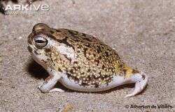Desert-rain-frog-walking.jpg