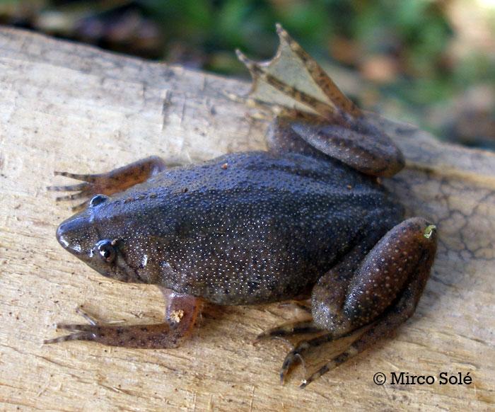 Carvalho's Surinam Toad