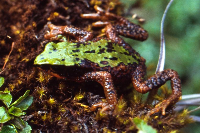 Arthur's Stubfoot Toad